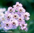 Achillea-sibirica-Love-Parade-SL-th