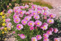 Aster-alpinus-Happy-End