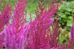 Astilbe_-chin_Purpurlanze