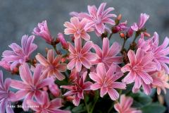 Lewisia-Little-Plum-2-SL