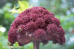 Angelica-gigas-THL
